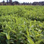 Food Plot Species Profile: Alyceclover