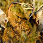 Whitetail Bucks Are Not Territorial