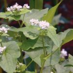 Food Plot Species Profile: Buckwheat