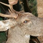 The Mysterious Bullwinkle Deer