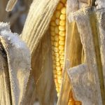 Kip's Korner: Is Your Corn In?