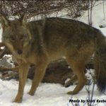 Kip's Korner: Coyote Impacts & Trapping