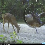 Weird Buck Won't Shed His Antler