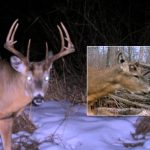 Causes of Early Antler Casting