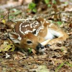 5 Common Myths About Whitetail Fawns