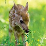 When Do Fawns Begin Eating Natural Forage?