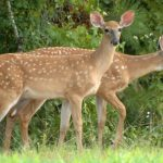 Taking Does Can Actually Increase Fawn Production