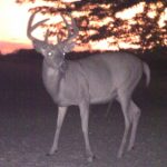 See One Buck's Amazing Post-Rut Decline and Recovery