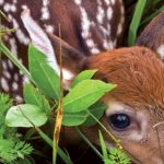 The Magic & Myths of Fawns