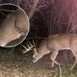 Weird Whitetail Buck Had a Mane!