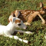 Rare Piebald White-tailed Deer Fawn