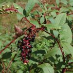 Know Your Deer Plants: Pokeweed