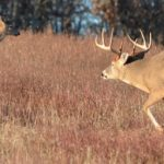 What Triggers the Whitetail Rut?