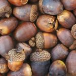 Survey Acorns Now to Improve Production
