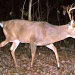 Leg Injuries Can Affect Antler Growth
