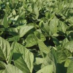 Food Plot Species Profile: Soybeans