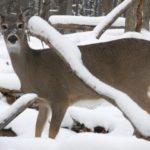 How to Provide Emergency Winter Deer Food