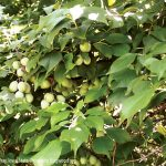 Know Your Deer Plants: American Plum