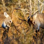 Defend, Display or Duel: What Are Antlers Good For?