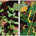 Know Your Deer Plants: Beggar's Lice
