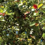 Know Your Deer Plants: Blackgum