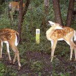 3 Ways to Track Fawn Recruitment