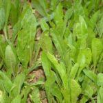 Food Plot Species Profile: Chicory