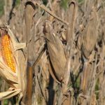 Food Plot Species Profile: Corn
