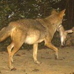 Coyote Control: When Is It The Right Option?