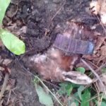 Fawn Survival Research: What Killed This Fawn?