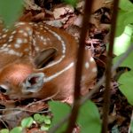 Fawn Survival Research: The Inside Story