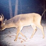 5 Tips for Photographing Mature Bucks