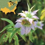 Know Your Deer Plants: Horsemint