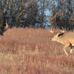 Hunt Does to Find Bucks in November