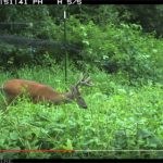 VIDEO: Let the Deer Eat! Summer Food Plots Before & After