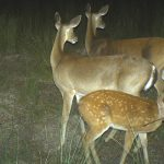 Fawn Survival Research: How to Capture a Fawn