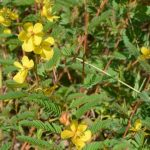 Know Your Deer Plants: Partridge Pea