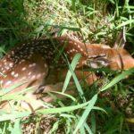 Fawn Survival Research: Fawn Sanctuaries?