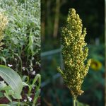 Food Plot Species Profile: Grain Sorghum