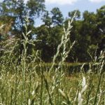 Ryegrass: Going Against the Grain