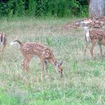 How Common Are Triplet Fawns?