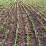 Food Species Profile: Wheat