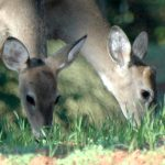 Ask QDMA: What's the Best Doe:Buck Ratio?
