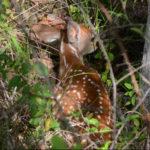 Ask QDMA: How to Improve Fawning Habitat