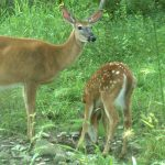 At What Age Can a Fawn Survive Without Its Doe?