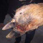 Kansas Deer Facing a Potential Outbreak of Footrot Disease