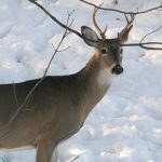 Where Do Northern Deer Find Water in Winter?