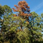Ips Beetles Attacking Drought-Stressed Trees Across the South