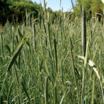 Cereal Rye for Deer