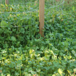 QDMA's Guide to Clover Food Plots